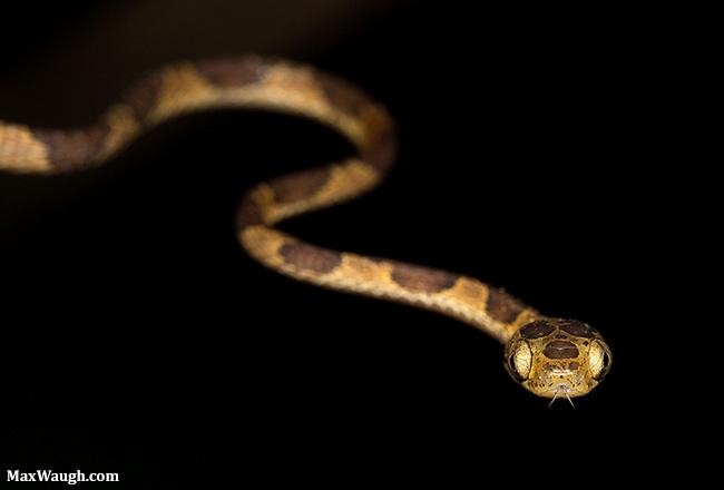 Chunk-headed snake