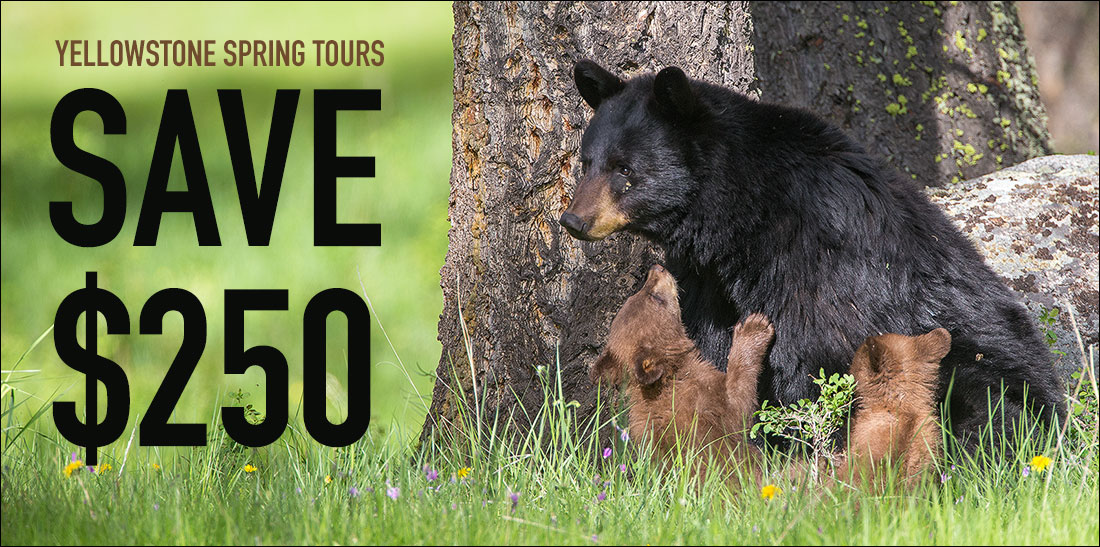 Save $250 on Yellowstone Spring Tours