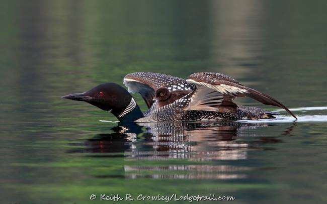 Loons by Keith Crowley