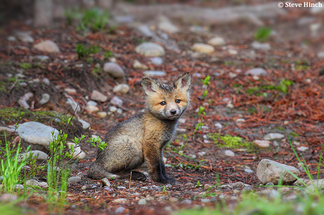 Fox kit by Steve Hinch