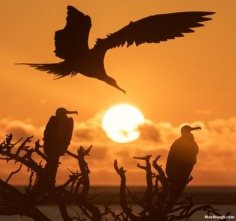 Frigatebirds at Sunrise
