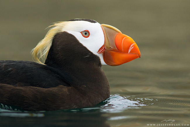 Tufted puffin by Jess Findlay