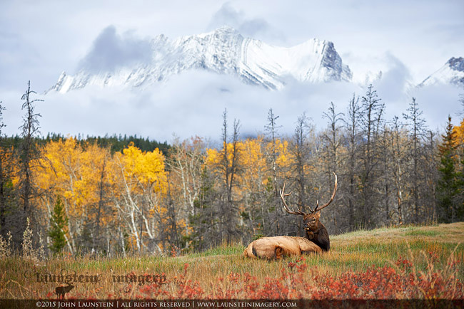 Bull elk by John Launstein