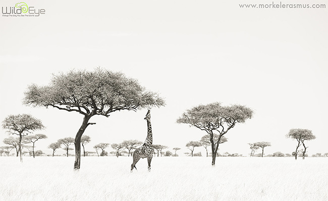 Feeding giraffe by Morkel Erasmus