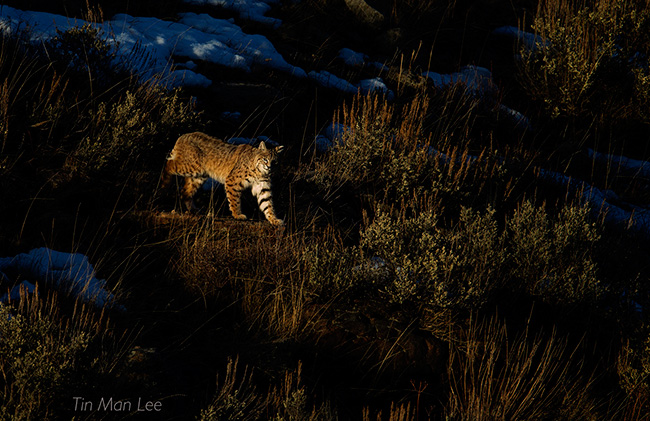 Bobcat by Tin Man Lee
