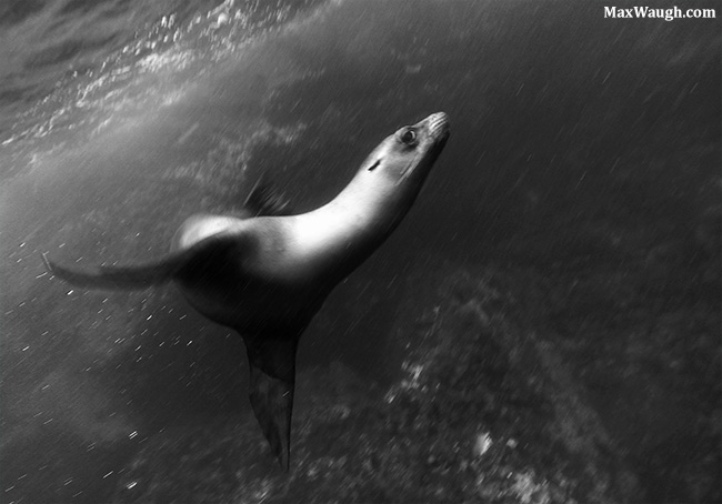 Galapagos sea lion underwater
