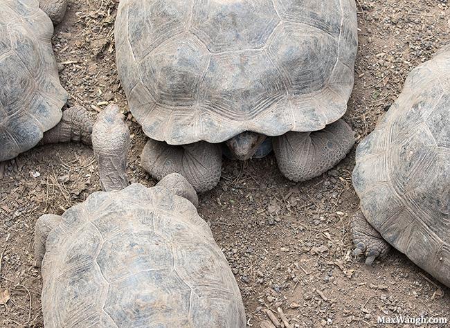 Juvenile Giant Tortoises
