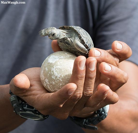 Baby Giant Tortoise