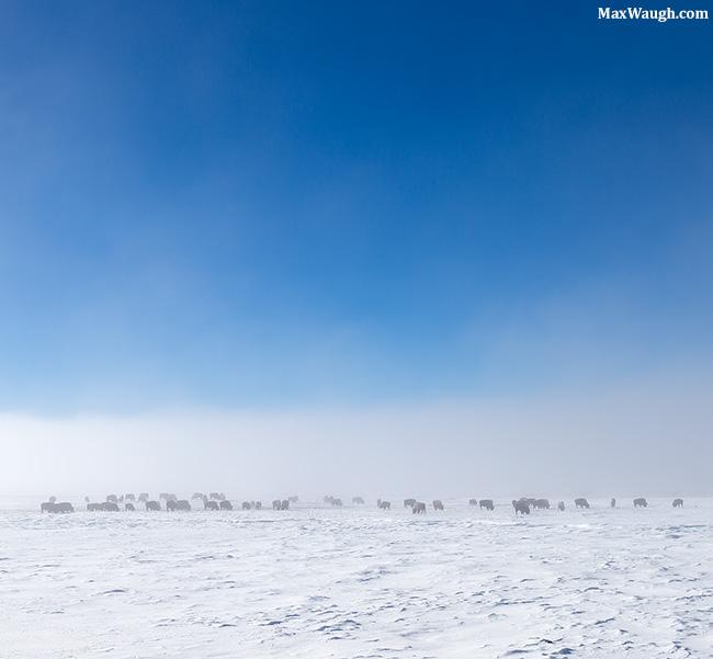 bison2396.jpg