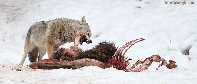 Coyote gnawing on carcass