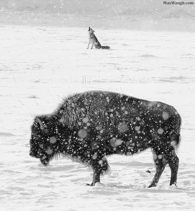Howling coyote and bison