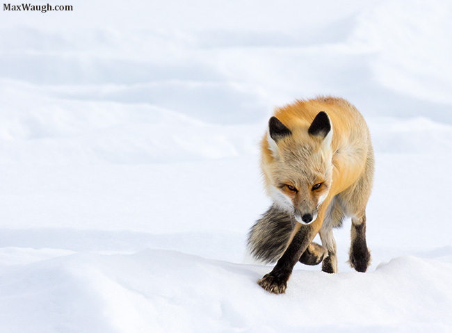 Red fox in the wind