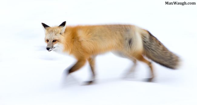 Red fox in motion