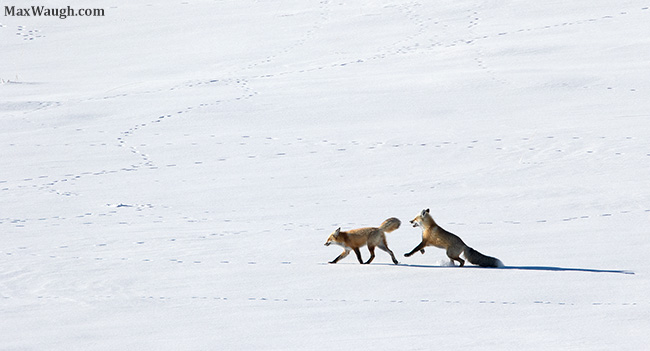 Courting foxes