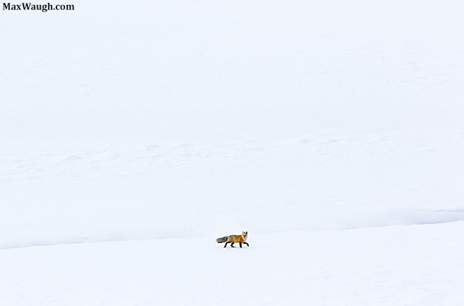 Red fox in Lamar Valley