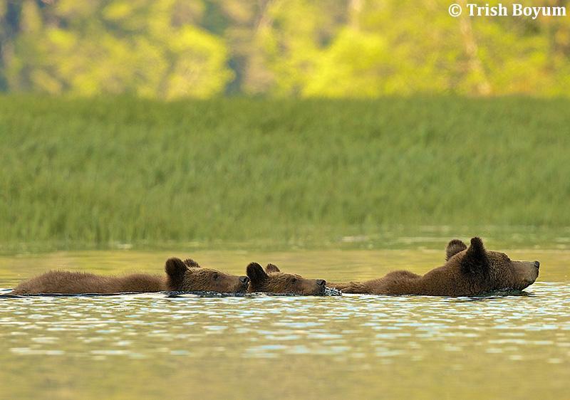 Grizzly Bear Family by Trish Boyum