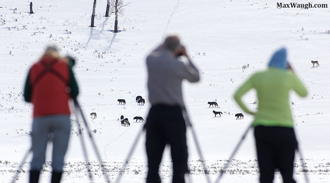 Photographers and wolves