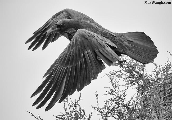 Raven takeoff