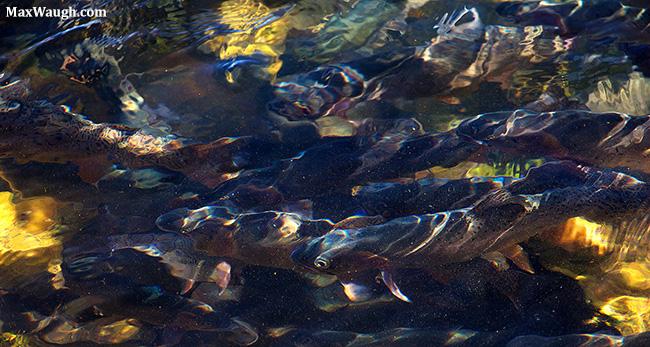 Trout in Lamar River