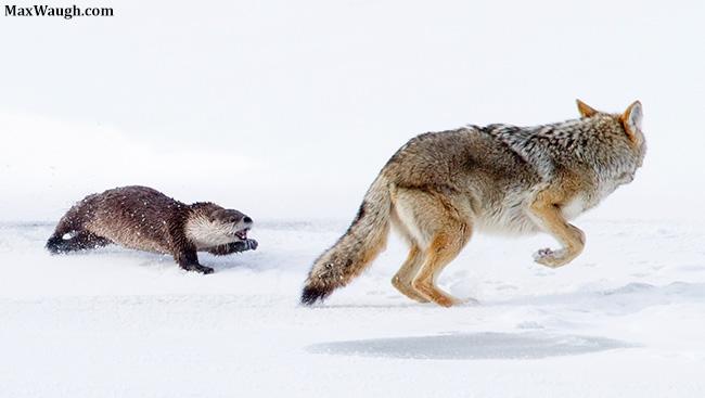 Otter vs. Coyote