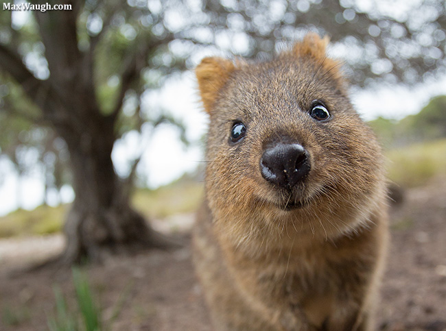 Baby quokka smiling - photo#26