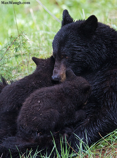 Black bear cubs nursing