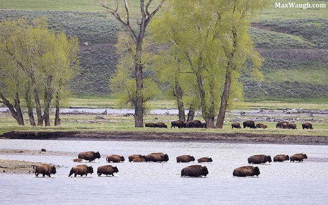 Bison herd crossing river