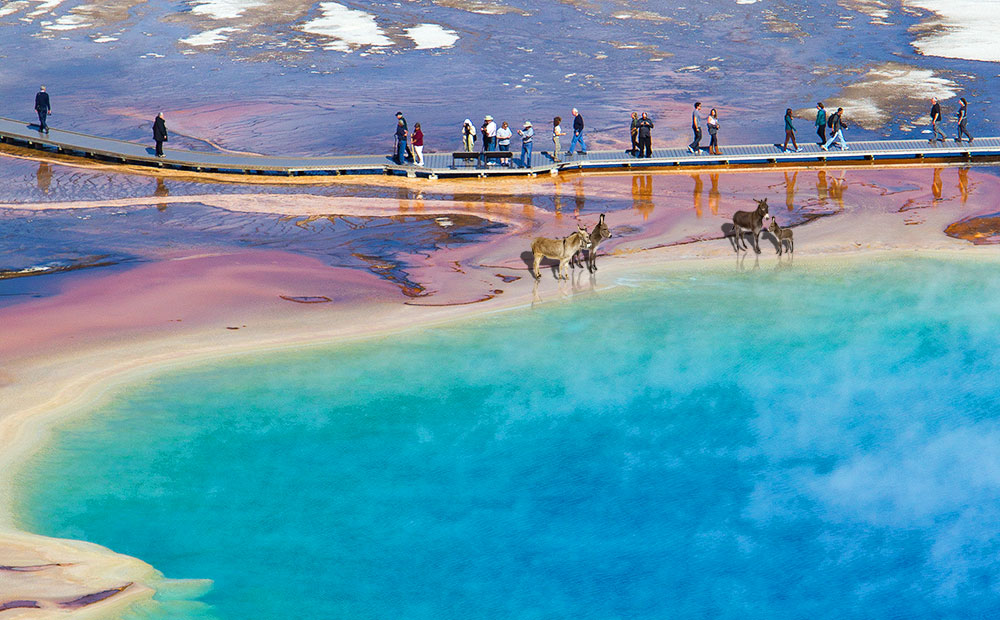 Darwinawaardi canadensis at Grand Prismatic Spring