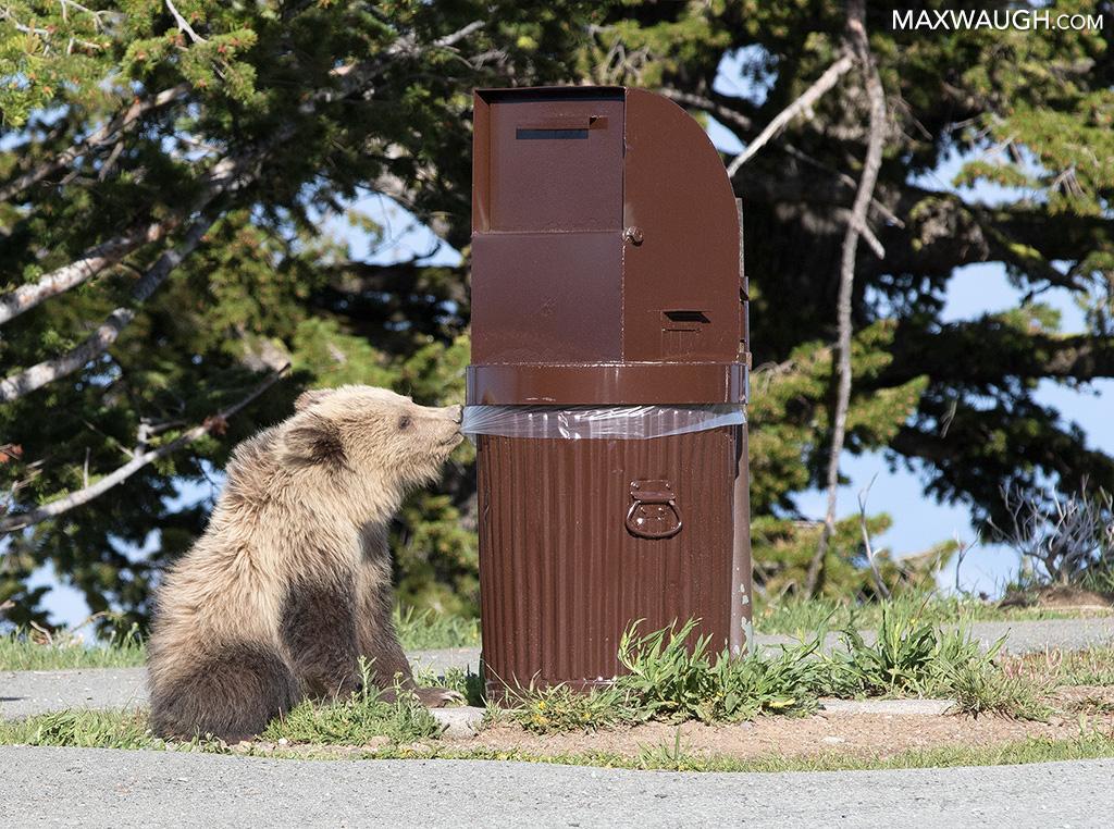 Bear cub chewing trash bag