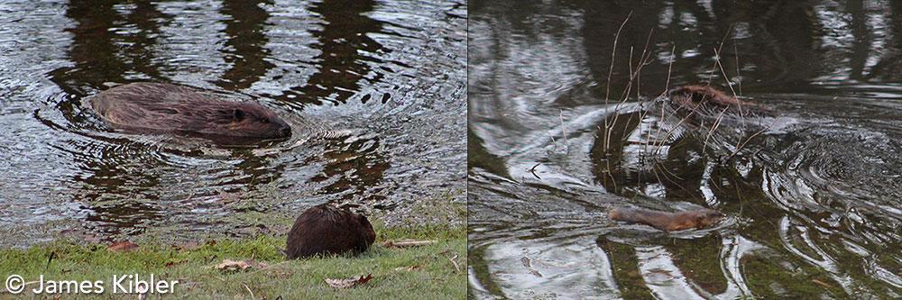 Beaver and Muskrat by James Kibler