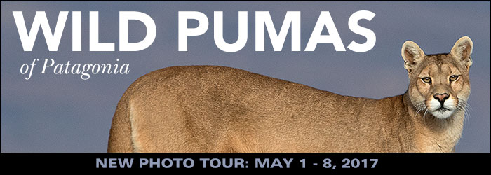 Wild Pumas of Patagonia photo tour