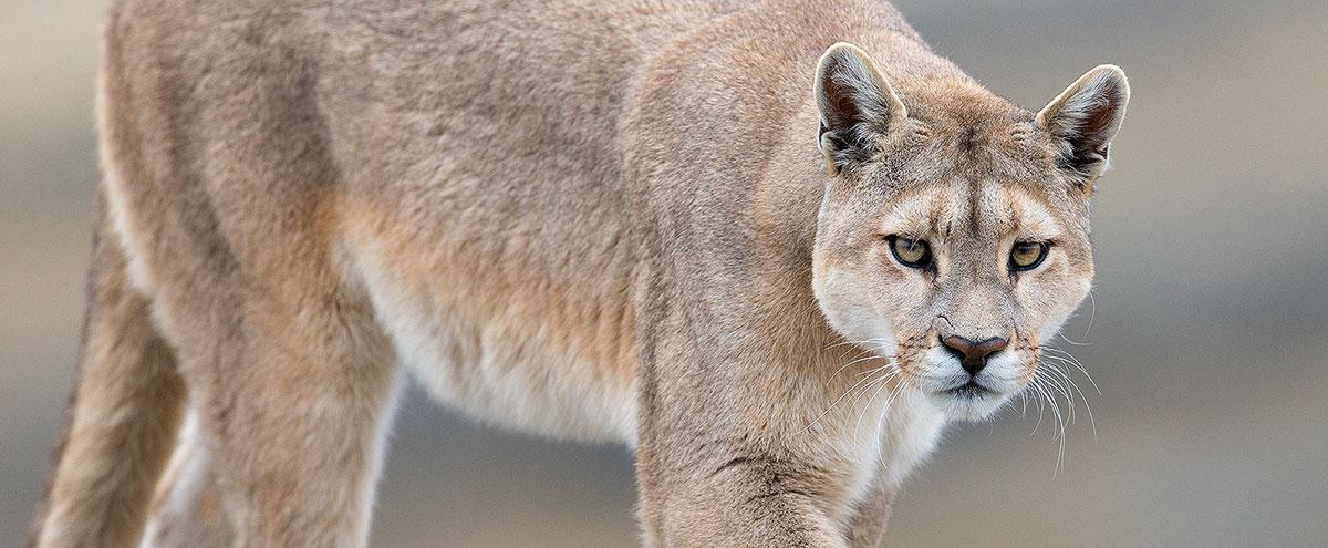 puma cat patagonia