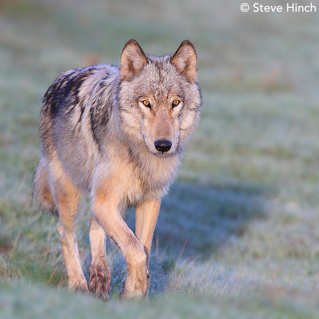 2017 Yellowstone Wolves calendar