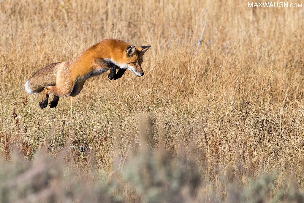 Mousing fox