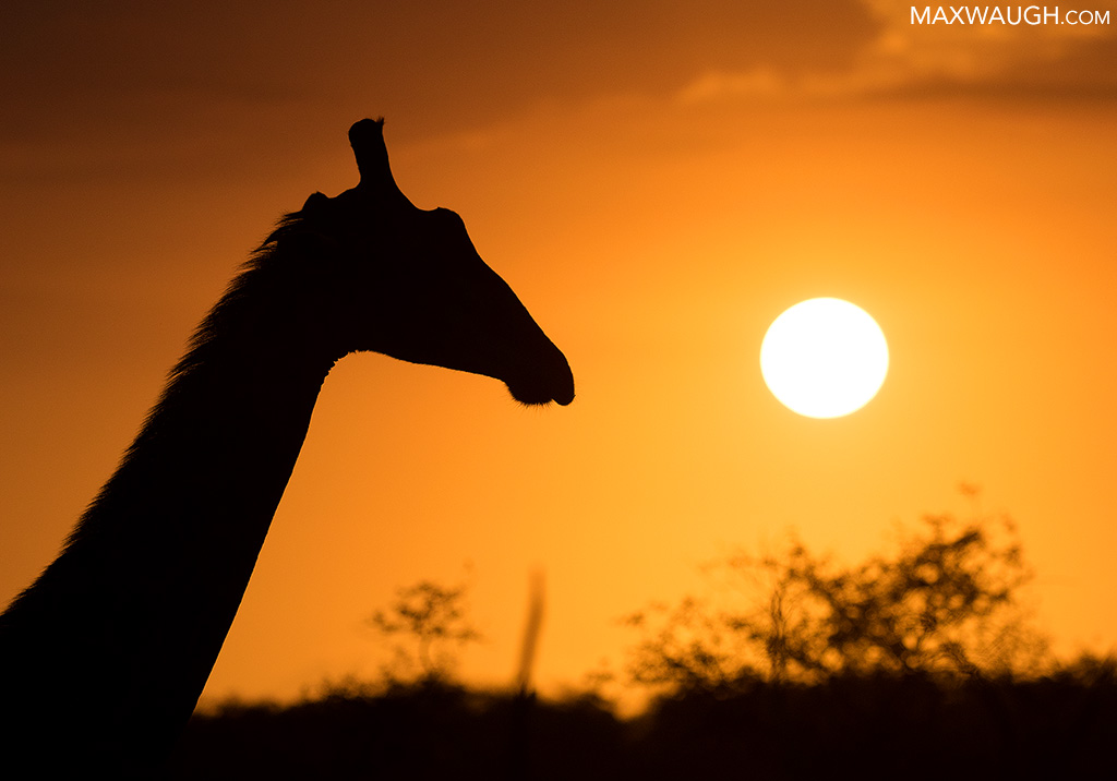 Giraffe Sunrise
