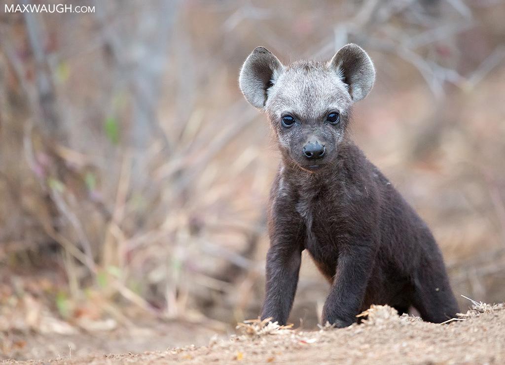 Hyena Pup