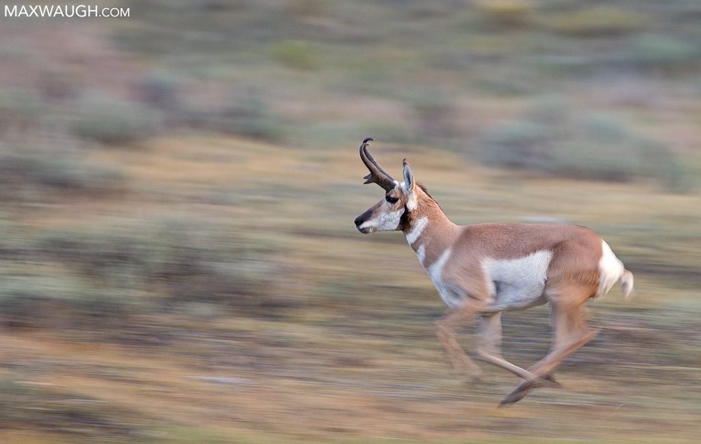 Running pronghorn