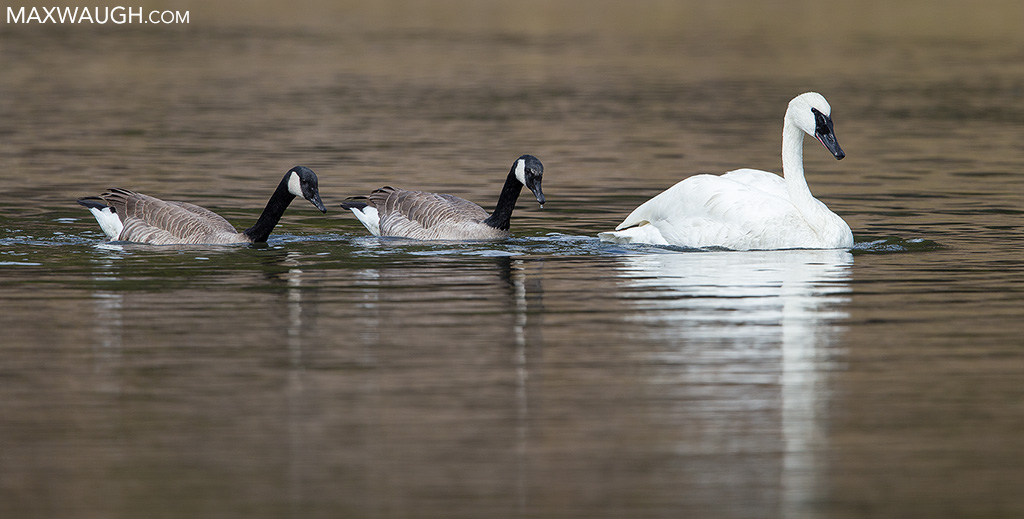 Trumpeter swan and Canada geese