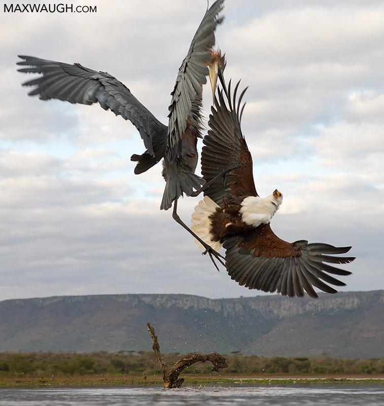 Fish Eagle vs. Goliath Heron