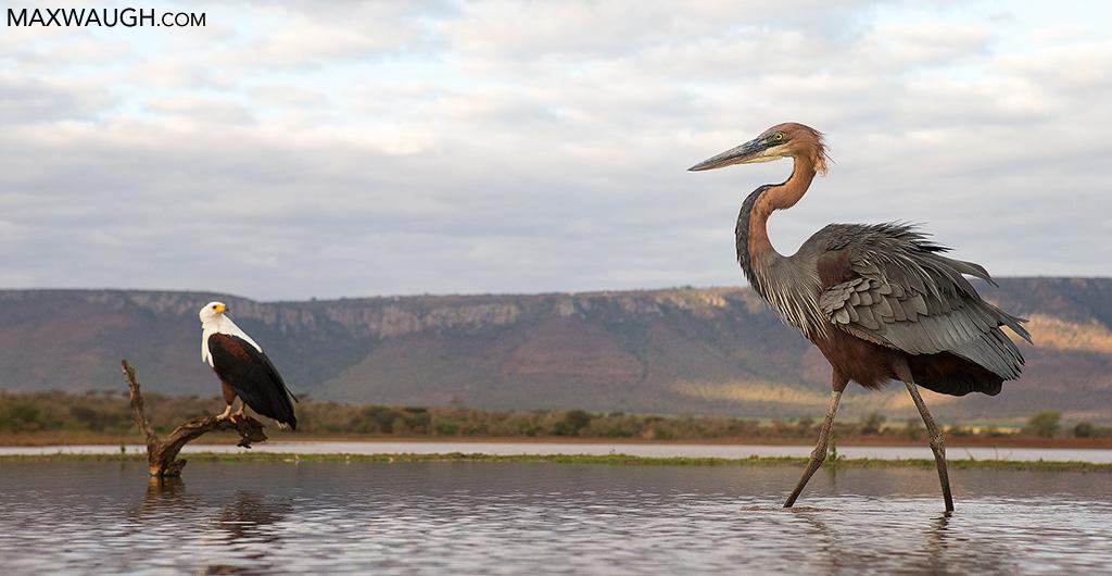 Goliath Heron and Fish Eagle