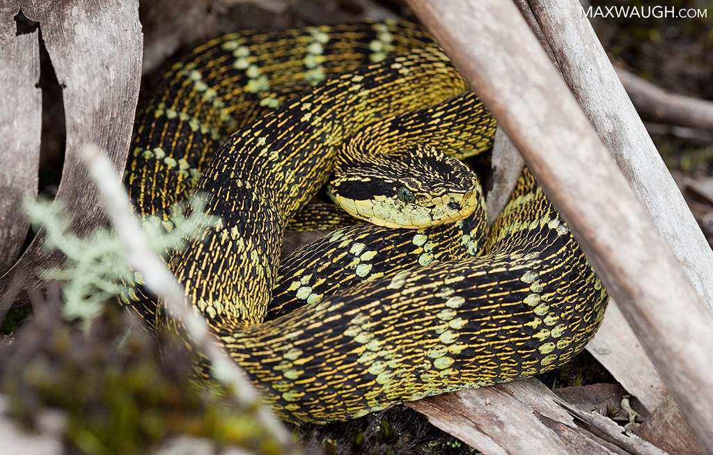 Andean forest pitviper