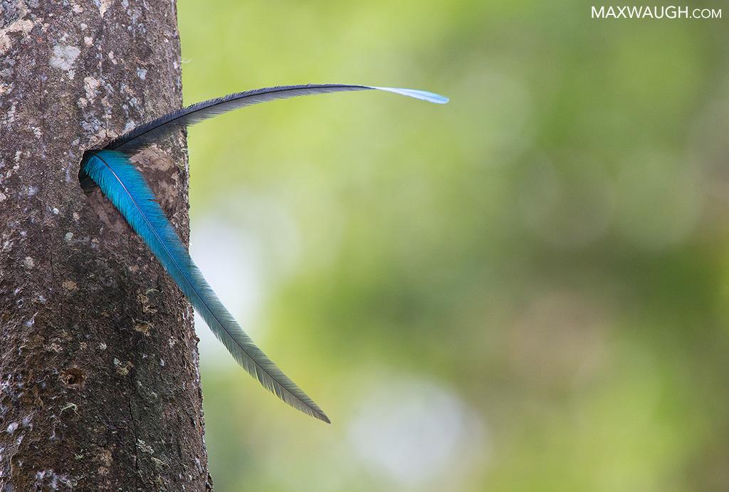 Resplendent quetzal tail