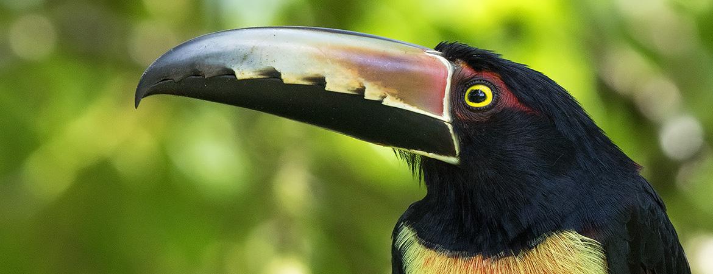 Costa Rica 2016 Bird Photos