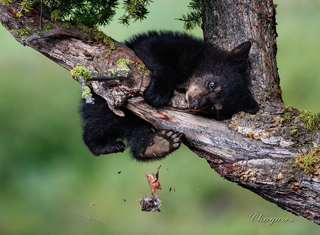 Black bear cub by Jim Chagares