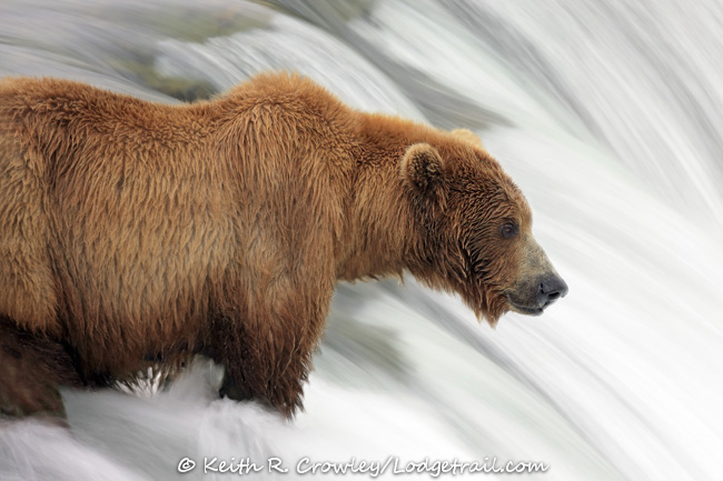 Alaska grizzly bear by Keith Crowley