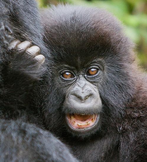 Mountain gorilla baby