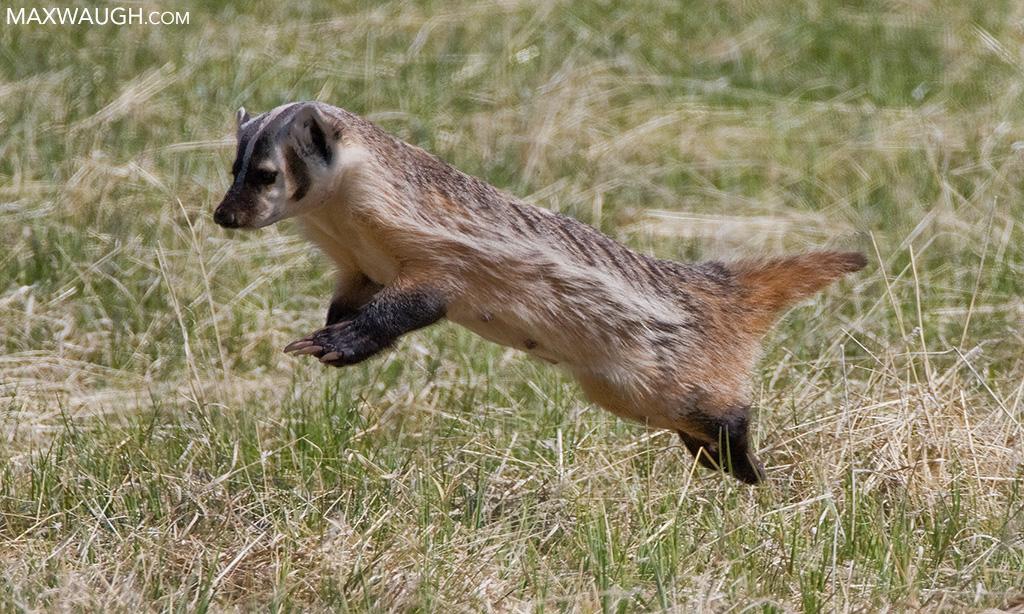 Mousing badger