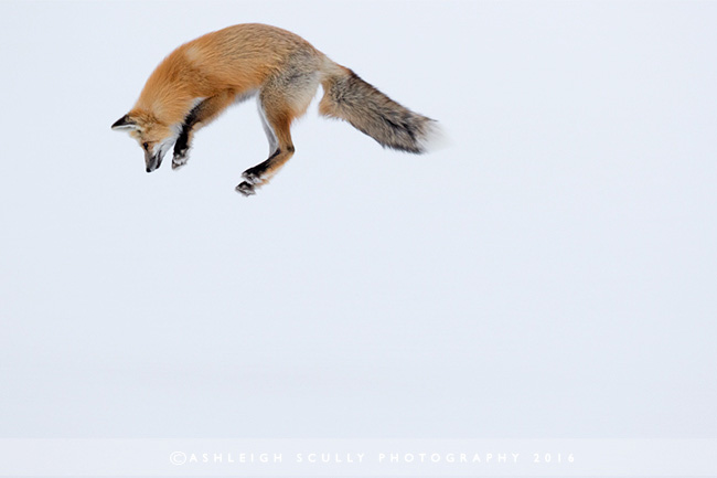 Red fox by Ashleigh Scully