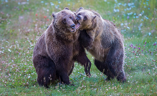Grizzly bears by Jill and Simon Jackson