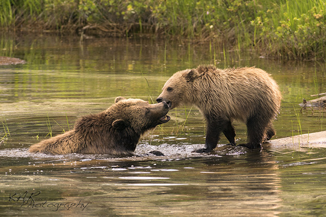 Grizzly bears by Kate and Adam Rice